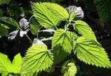Die Heilpflanze Brennnessel hilft in vielen Bereichen
