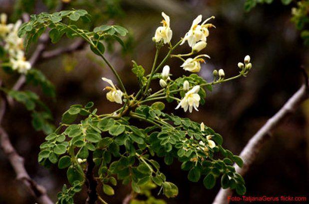 Der Moringabaum , was diese Pflanze alles zu bieten hat