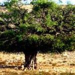 Der Arganbaum liefert Arganöl