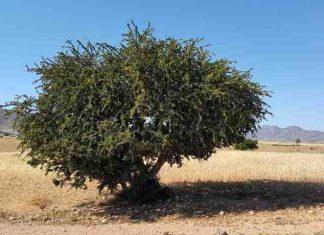 Arganöl, das flüssige Gold aus Marokko