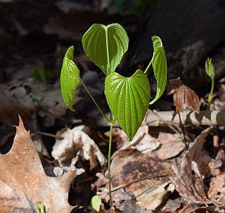 Wilder Yams (Dioscorea villosa)