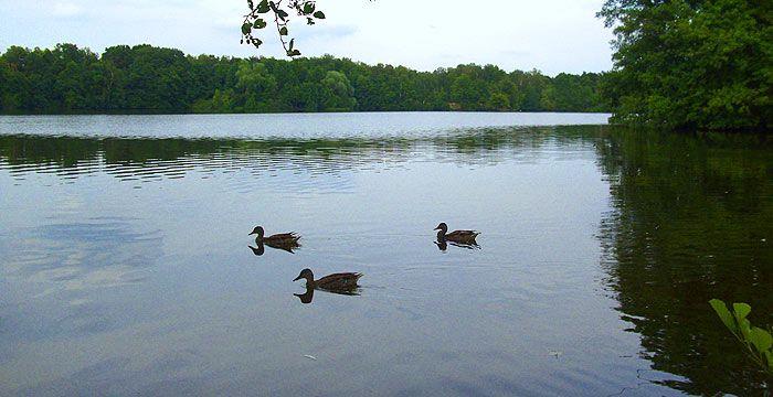 Enten auf dem Waldsee Entenfang in Mülheim