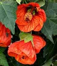 Malventte wird aus der Hibiskusblüte gewonnene