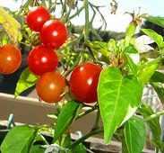 Im eigenen Garten Tomaten ziehen