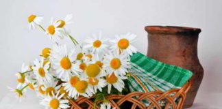 Gänseblümchen als Heilkräuter
