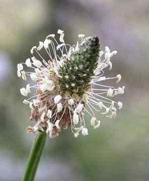 Spitzwegerich lindert auch Insektenstiche