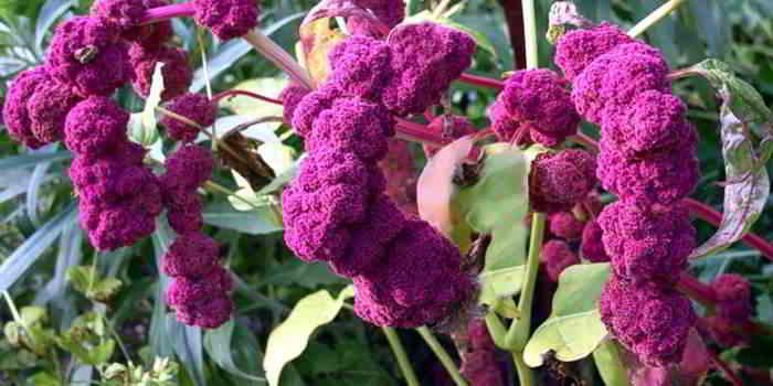Amaranth ist der glutenfreie Samen des Fuchsschwanzgewächses