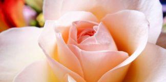 Rosen aus den eigenen Garten für die Wellness