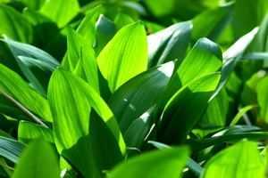Pflanzen statt Antibiotika - Bärlauch ist reich an Vitamin C