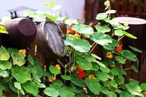Pflanzen statt Antibiotika - Kapuzinerkresse wirkt blutreinigend