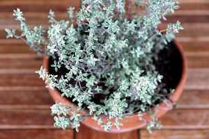 Pflanzen statt Antibiotika - Thymian beruhigt den Husten