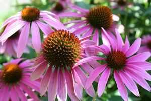 Pflanzen statt Antibiotika - der Sonnenhut