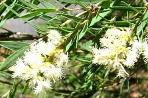 Pflanzen statt Antibiotika - das Teebaumöl