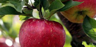 Gesund und rund – der Apfel