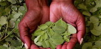 Moringa - der Gesundheits-Wunderbaum?