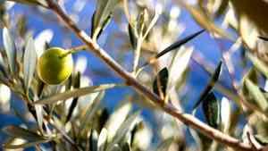 Olivenblättertee - gesund aber wenig bekannt