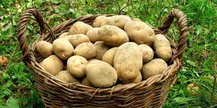 Warum es sich auch heute noch lohnt, Kartoffeln einzukellern