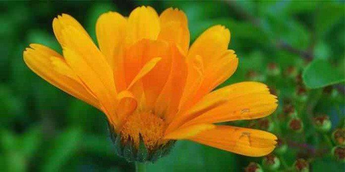 Ringelblumensalbe, Wund- und Pflegecreme aus der eigenen Küche