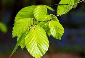 Wildkräuter im Mai - die Birkenblätter