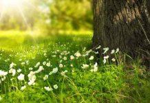 Wildkräuter im Juni - Knoblauchsrauke, Mädesüß, Sauerampfer