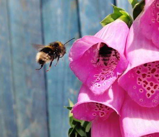 Bienenfreundliche Pflanzen sind auch für Menschen nützlich