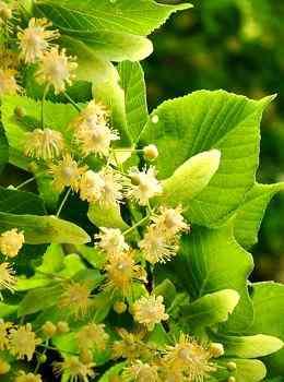 Traditionell wird Tee aus Lindenblüten aufgekocht