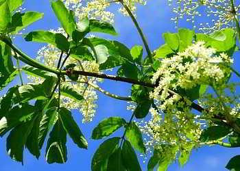 Holunderblatttee kann die Produktion von Schweiß mindern