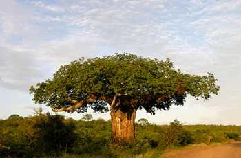 Baobab ist die Frucht des Affenbrotbaumes