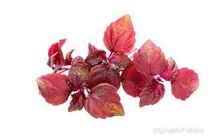 Shiso Blättern färben die Umeboshi Früchte rot