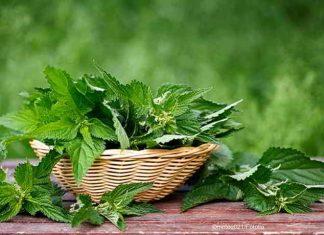 Brennnesseljauche, biologischer Dünger für Obst und Gemüse