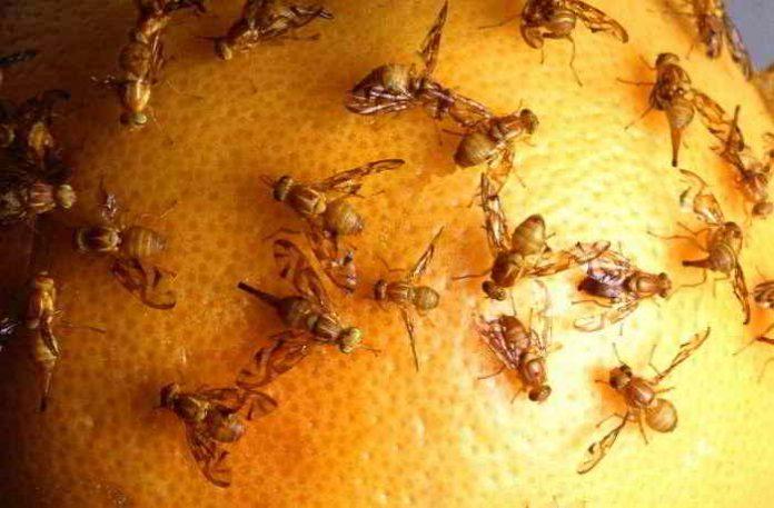 Fruchtfliegen mit Hausmitteln bekämpfen - ohne Chemie