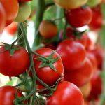 Tomaten selber pflanzen - auf Balkon und Terrasse