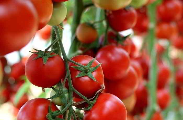 tomaten selber pflanzen auf balkon und terasse gesunex. Black Bedroom Furniture Sets. Home Design Ideas