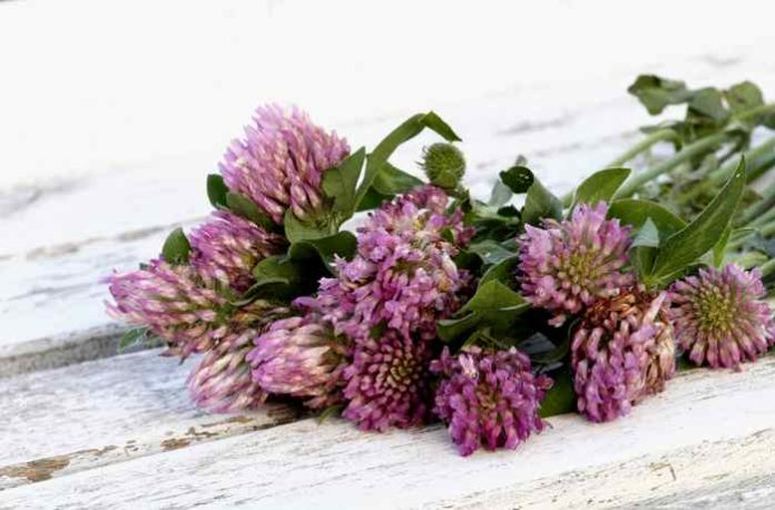 DIY Rotklee Produkte - als Tee, heilender Sud oder straffendes Blütenöl