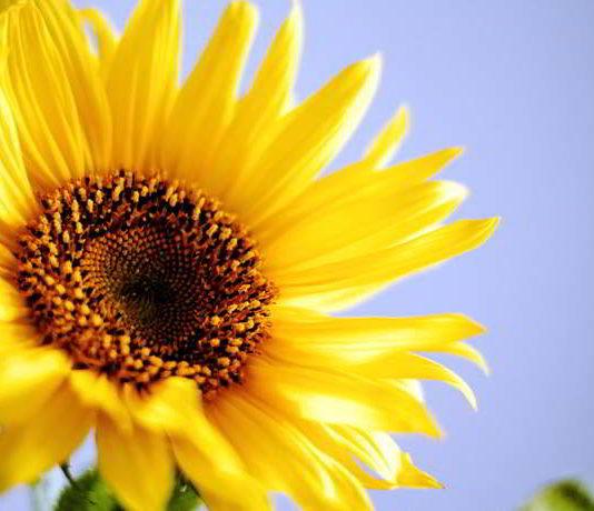 DIY Sonnenblumenkern Paste - vegan, gesund und richtig lecker