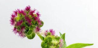 Pimpinelle - gesunde Rezepte mit dem kleinen Wiesenknopf